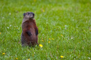 How much wood could a woodchuck chuck, if a woodchuck could chuck 557 kilograms per hour, in an eight hour work day. Give answer in megatonnes.
