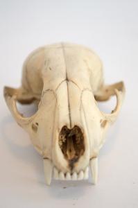 Carnivore Skul