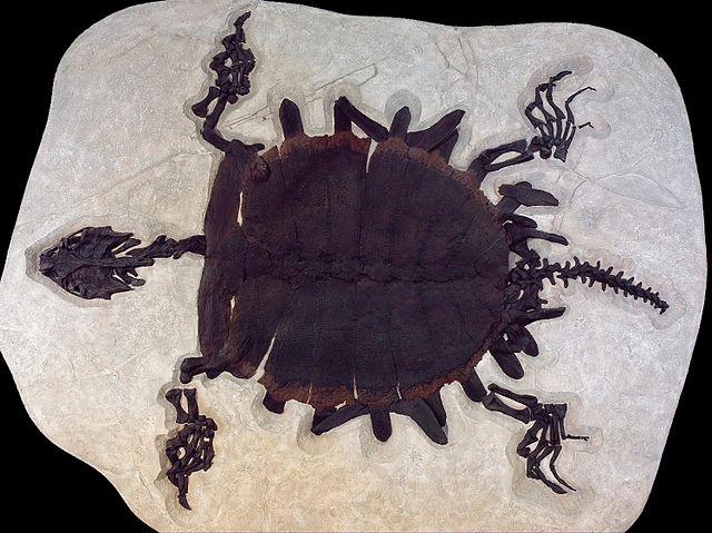 Trionychidae sp.
